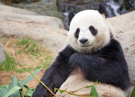 oso panda: Gigante oso panda comiendo bamb? leafs