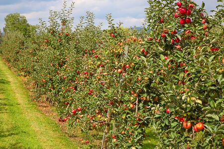 decision tree: Apple garden full of riped red apples