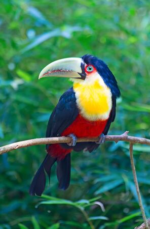 aviary: Young green billed tucan in the aviary