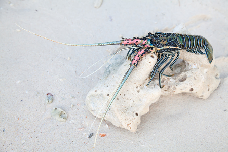 Langouste on the piece of coral Stock Photo