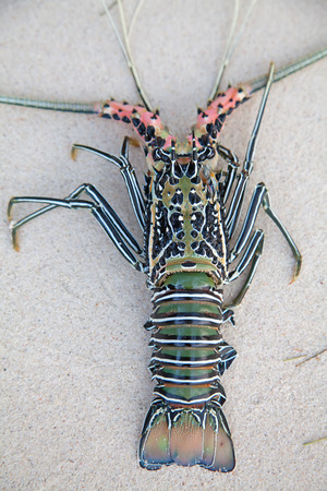 decapods: Langouste on the piece of coral Stock Photo