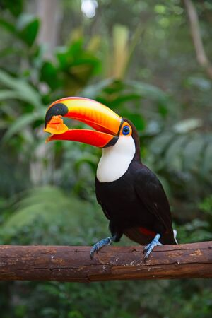 aviary: Colorful tucan in the aviary Stock Photo