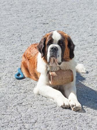 st bernard: St. Bernard Dog with keg ready for rescue operation