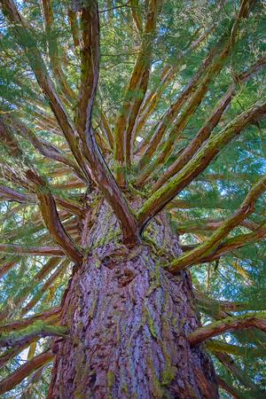 sequoia: Giant sequoia tree from the ground Stock Photo