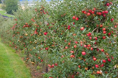 riped: Apple garden full of riped red apples