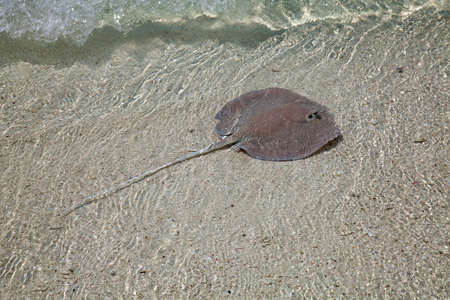 shallow water: Stingray in the shallow water Stock Photo