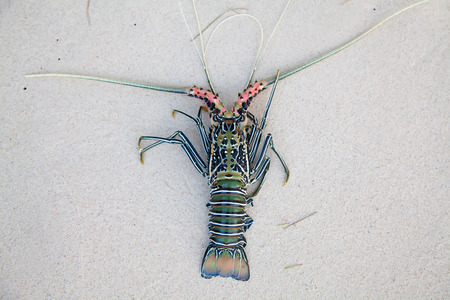 Langouste on the coral sand Stock Photo