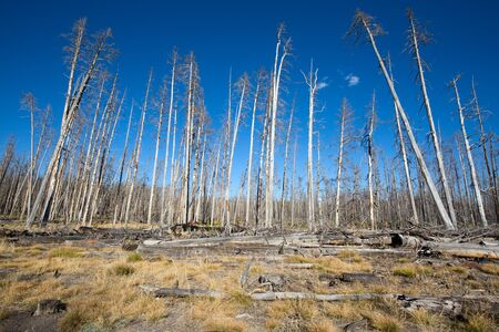 Dead forest in the Lower geyser basin in the Yellowstone National park, USA
