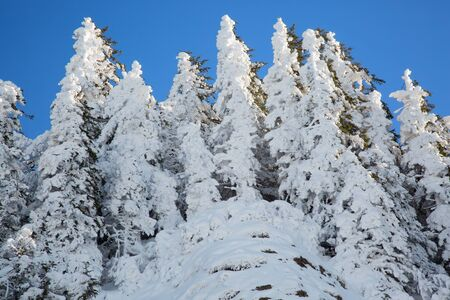 Trees covered with snow in alpine highlands of Swiss alps