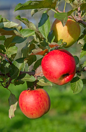 cultivate: Apple garden full of riped red apples
