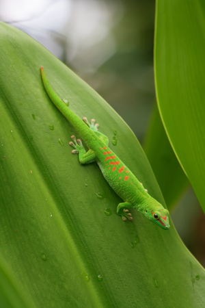 Green gecko on the roof (Zurich zoo) Stock Photo