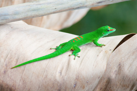 Green gecko on the palm leam