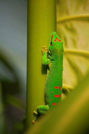 Green gecko on the leaf Stock Photo