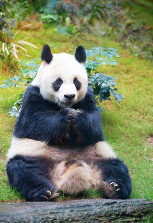 Giant panda bear eating bamboo leafs
