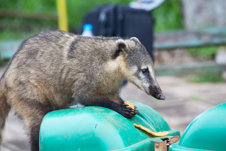 Cute Coati (Nasua nasua) begging for food from tourists nearby Iguacu falls in Brazil