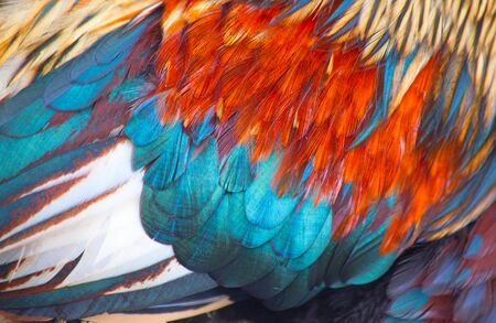 Close up of the wing of the domestic rooster Stock Photo