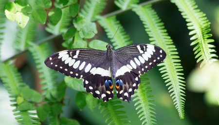 Papilio palinurus, the emerald swallowtail, emerald peacock or green-banded peacock, is a butterfly of the genus Papilio belonging to the Papilionidae family