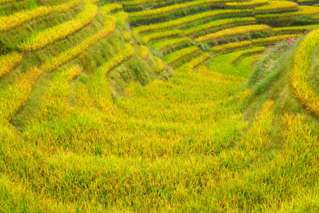 The Longsheng Rice Terraces(Dragons Backbone) also known as Longji Rice Terraces are located in Longsheng County, about 100 kilometres (62 mi) from Guilin, Guangxi, China