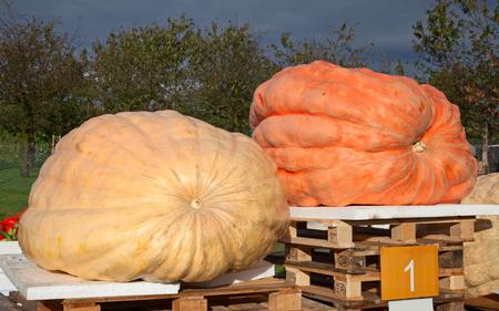 Giant pumpkin, winner of the pumpkni contest on the autumn market 版權商用圖片