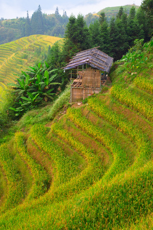 The Longsheng Rice Terraces(Dragon's Backbone) also known as Longji Rice Terraces are located in Longsheng County, about 100 kilometres (62 mi) from Guilin, Guangxi, China Stock Photo - 117438648