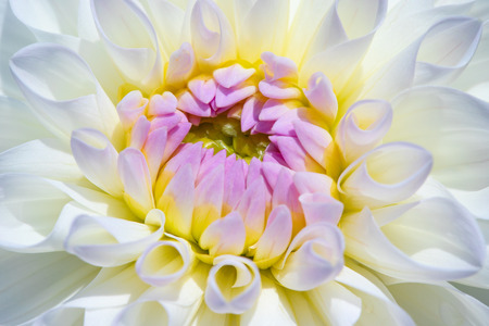 Colorful dahlia flower with morning dew drops Banque d'images