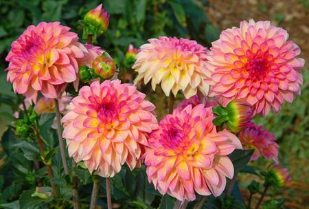 Fiore colorato della dalia con gocce di rugiada del mattino