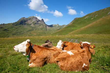 Swiss cow in the alps
