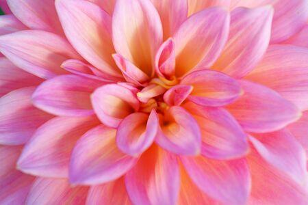 Fiore colorato della dalia con gocce di rugiada del mattino Archivio Fotografico
