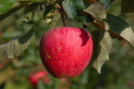 Jardín de manzanas lleno de manzanas rojas maduras