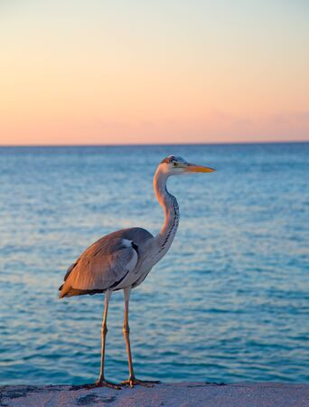 Gray heron fishing at sunset on the beach