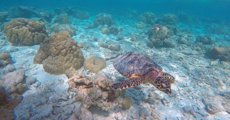 Green turtle, Indian ocean, Maldive islands.