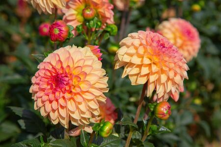Colorful dahlia flower with morning dew drops Фото со стока