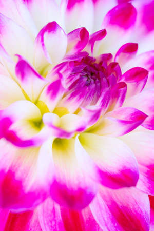 Colorful dahlia flower with morning dew drops 版權商用圖片