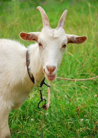 neck collar: A goat in green grass Stock Photo