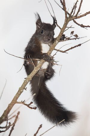 tuft: Squirrel on the branch in the garden Stock Photo