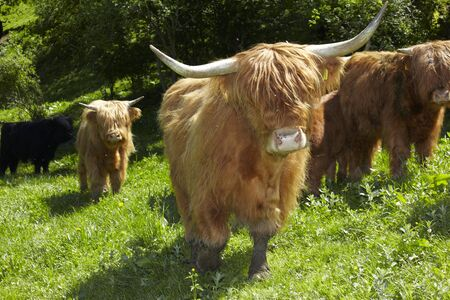 highland: Highland Cattle Stock Photo