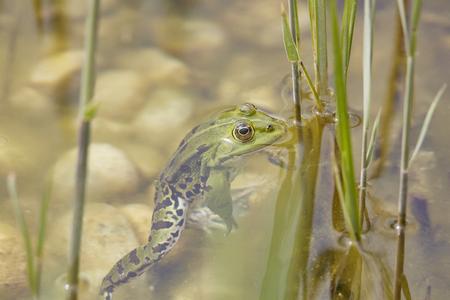 quack: pond frog Pelophylax esculentus