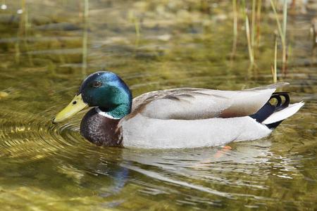 drake: mallard drake duck Stock Photo