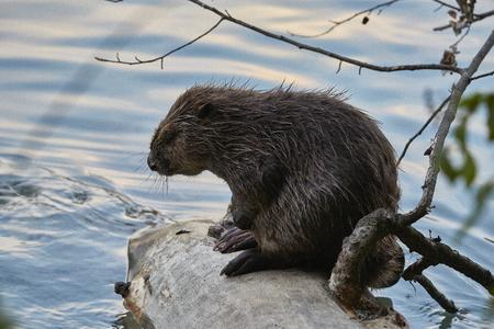 Beaver in river Switzerland
