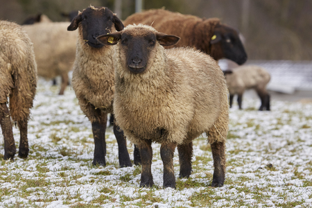 Sheeps and lambs outside in winter Standard-Bild