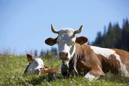 Brown white cow with horns in Bernese Alps, Switzerland