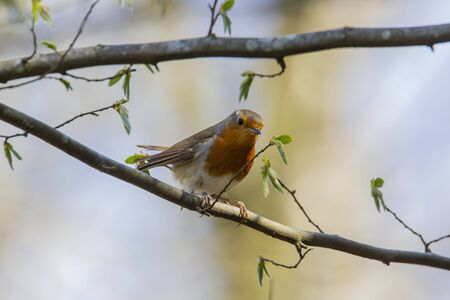 Red robin in forest Stock Photo - 145061539