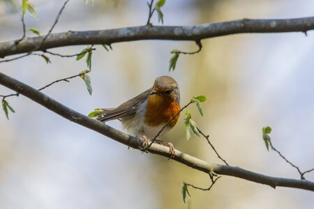Red robin in forest Stock Photo - 145061540