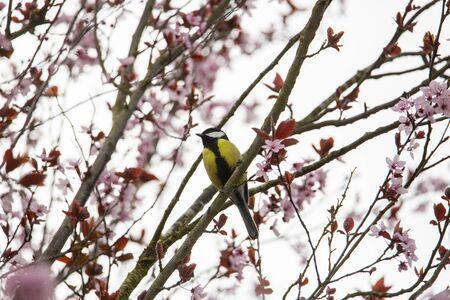 Titmice on cherry tree Stock Photo
