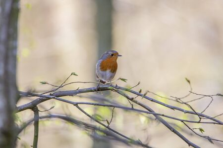 Red robin in forest Stock Photo - 145061541