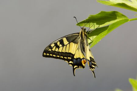 Dovetail butterfly Stock Photo