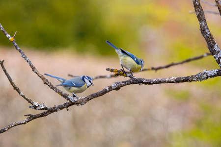 pair of blue tit on tree in garden