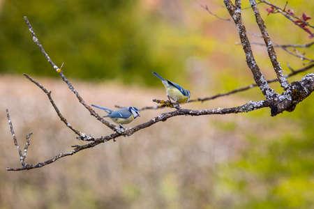 Blue Tit in garden in spring time Standard-Bild
