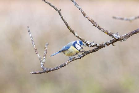 Blue Tit in garden Spring time.