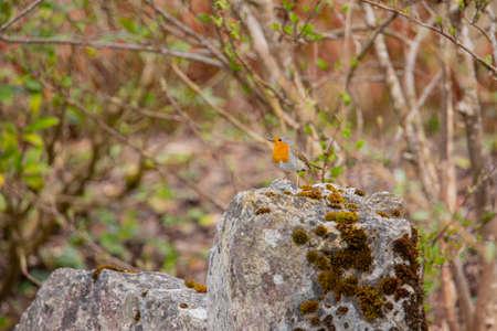 Red Robin in garden spring time